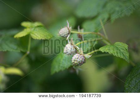 Fruits berries green immature raspberries. Natural background