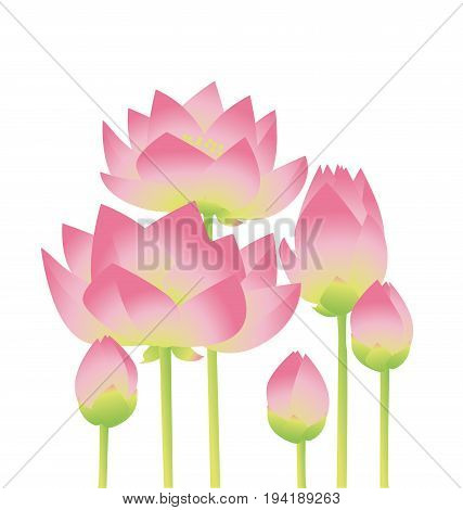 rosy lotus lilies decorative floral element on white background. vector illustration