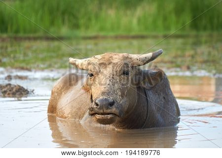 A portrait of a water buffalo on a rice field in Phong Nha ke bang national Park, Vietnam
