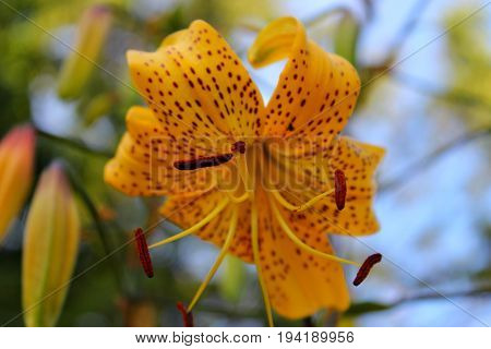 Yellow lilies in the garden. Tiger Lily. The flowers in the garden. Caring for garden lilies.
