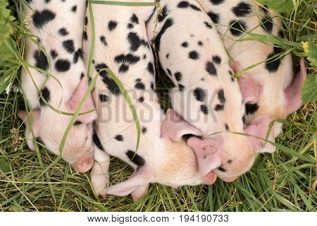 Oxford Sandy and Black piglets from above. Four day old domestic pigs outdoors with black spots on pink skin