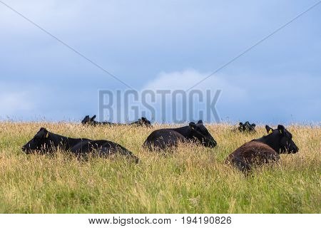 Black cows lying in long grass. Herd of cattle resting in British meadow beneath clear blue sky