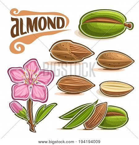 Vector set of Almond Nuts: branch of tree with pink blooming flower and green leaf, lettering title - almond, diet organic food, almond nuts in nutshell and peeled fruit isolated on white background.