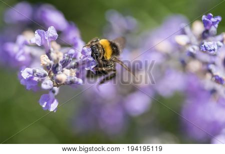 Closeup view of the bumble bee with head in the lavender flower
