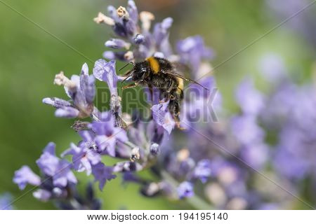 Closeup view of the bumble bee in motion on the lavender flower.