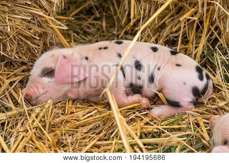 Oxford Sandy and Black piglet asleep. Four day old domestic pigs outdoors with black spots on pink skin