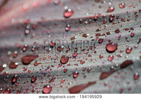 Drops of water on a red leaf (shallow depth of field)