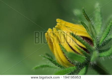 Young yellow flower (Rudbeckia)