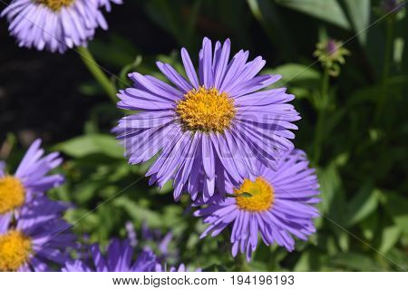 Delicate Abundance Of Aster Flowers In Nature