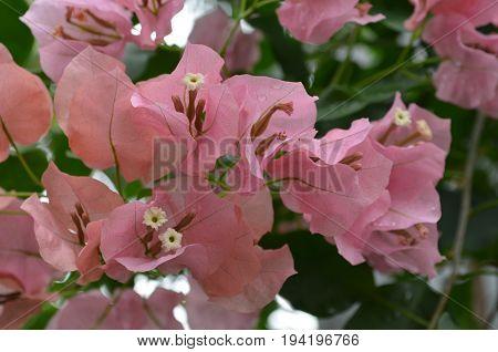 Flowering pink crepe myrtle flowers in a garden blooming.