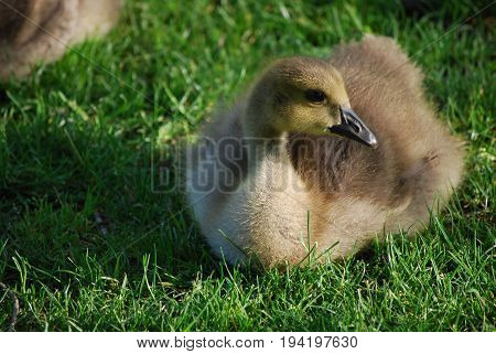 Beautiful Canadian gosling resting in lush green grass.