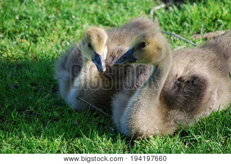 Pair of resting baby goslings in green grass.