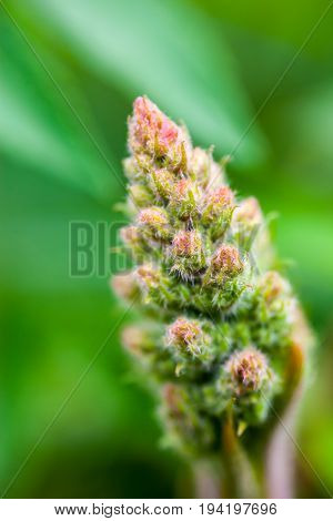 Tender spring flower bud. Hairy leaves and buds. Close-up.
