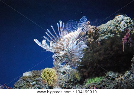 Precoius Small Lionfish Colored Brown and White