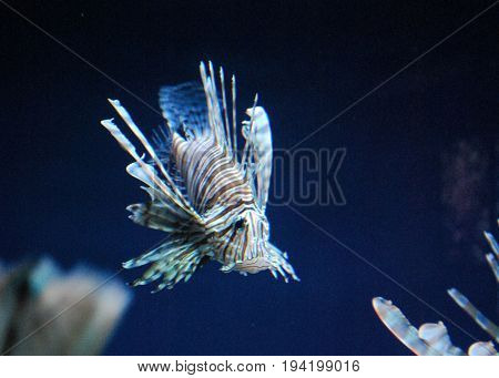 Distictive Lionfish with Brown and White Stripes