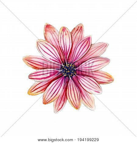 Watercolor osteospermum flower hand drawn isolated on white background.