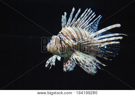 Compelling Brown and White Lionfish Swimming Around