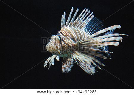 Breathtaking Lionfish Living Underwater with Brown Stripes