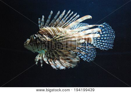 Really Vibrant White and Brown Striped Lionfish