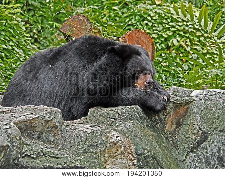 Asiatic Black Bear Lie Down on Rock with Green Leaves Background