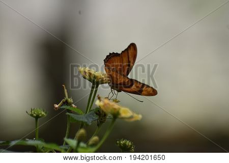 Vibrant Orange Gulf Fritillary Butterfly On Flowers