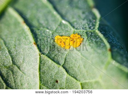 Tiny yellow Colorado potato beetle's eggs on the green leaf. Close-up.