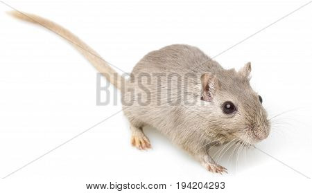 a gerbil isolated on a white background