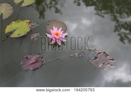 Pink Waterlily On Pond Surface, Close Up Photo
