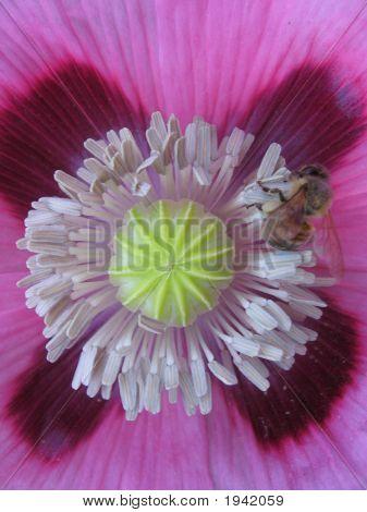 Poppy  Bee