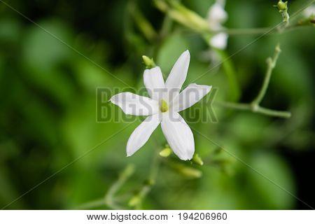Azores Jasmine (Jasminum azoricum) flower in garden, blooming jasmine