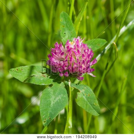 Flower and leaves of Red Clover Trifolium pratense with bokeh background macro selective focus shallow DOF.