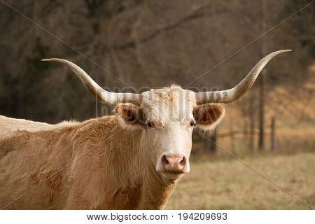 A headshot of a single Texas Longhorn cattle
