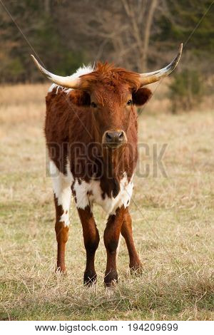 Single Longhorn Cow facing the viewer of the image while standing.