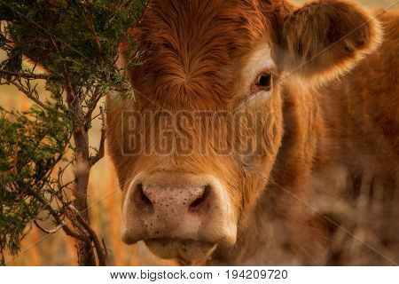 Close head image of a Red Angus Calf