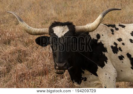 A close view of the head and horns of a Texas Longhorn