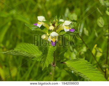 Large-flowered Hemp-nettle or Edmonton hempnettle Galeopsis Speciosa plant with flowers on bokeh background selective focus shallow DOF.