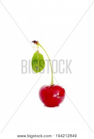 Organic, Sour Cherry Isolated On White Background