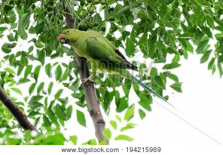 Parrots also known as Psittacines, Pobitora Wildlife Century, Assam India