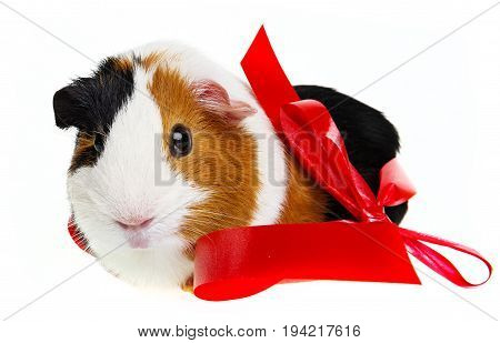 pet guinea pig with a red ribbon