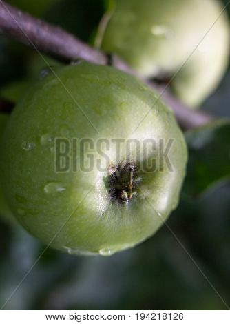Green apples on the apple tree wet after the rain. Close-up.