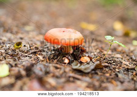 Small russula mushroom on the ground in the autumn forest.