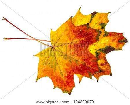 two autumn leaf isolated on a white