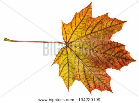 an autumn leaf isolated on a white
