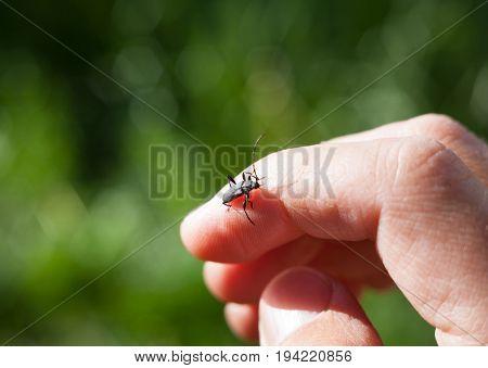 Longhorn beetle (Cerambycidae) on the human hand. Close-up.