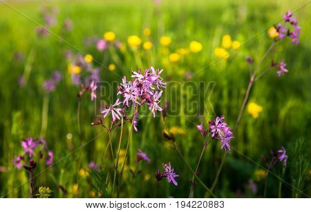 Ragged Robin (Lychnis flos-cuculi) in the green meadow. poster