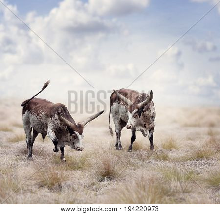 Brown and white longhorn steers in a field