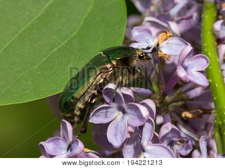 Cetonia aurata sits on a lilac flower