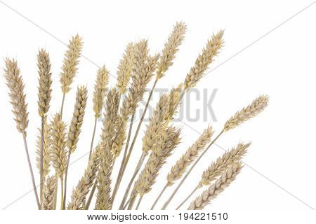 lovely bunch of wheat - plants and flowers