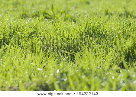 Morning green meadow covered with dew drops