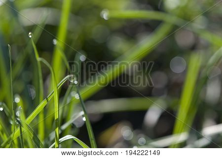 drop of dew on the tip of a blade of grass